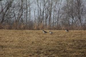 Three killdeer