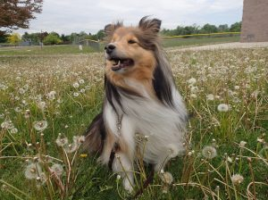 A Sheltie is never late.