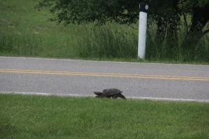 Mama turtle on a walk.