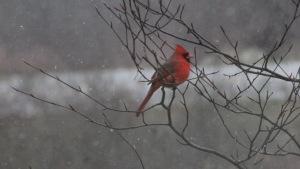 cropped cardinal
