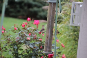 Greedy goldfinches.
