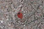 ice cardinal edited