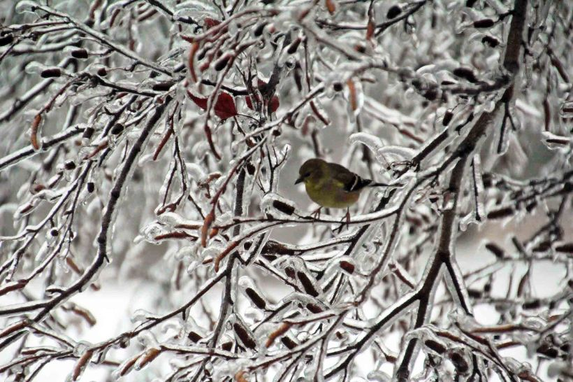 ice goldfinch edited