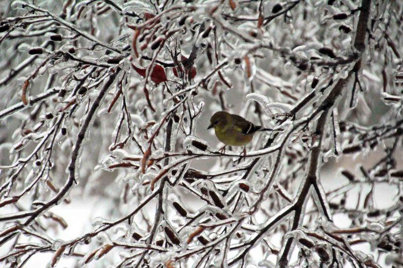 ice goldfinch edited