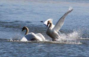 swan fight 1
