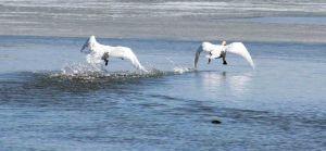 swan fight 3