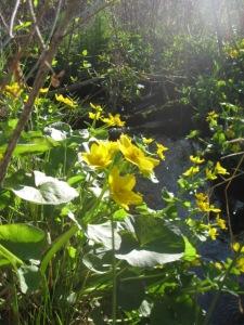 Marsh marigold glow