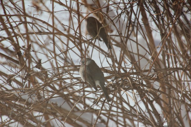 Hunkered down like the juncos.