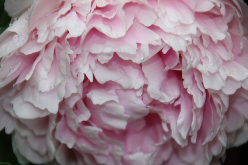 Peony in pink.