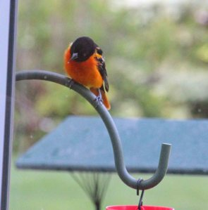 Mr. Oriole comes for grape jelly.