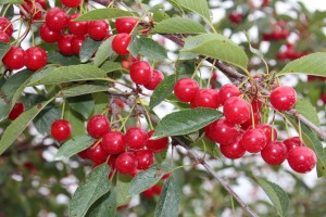 Looks like a good year for cherries.
