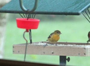 Mrs. Oriole visits for a snack.