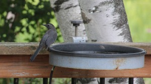 Visit from a catbird