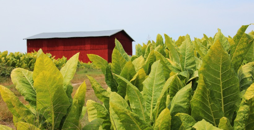 Kentucky tobacco field.