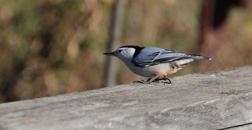 Nuthatch stops for a fleeting moment to say hi.