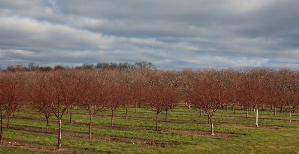 Cherry trees under heavy sky