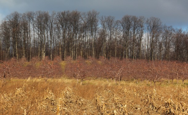 Cherry orchard tucked behind a corn field