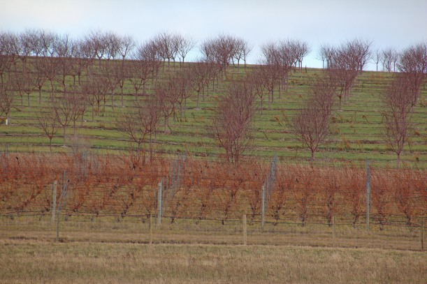 Grapes and cherries share a hillside