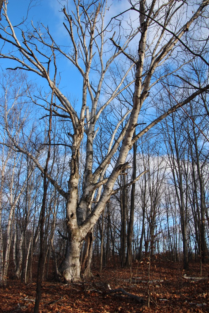 One of many huge birch trees.