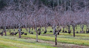 Turkeys in the orchard!