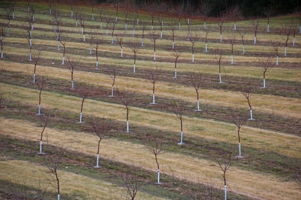 Brand new orchard in the making