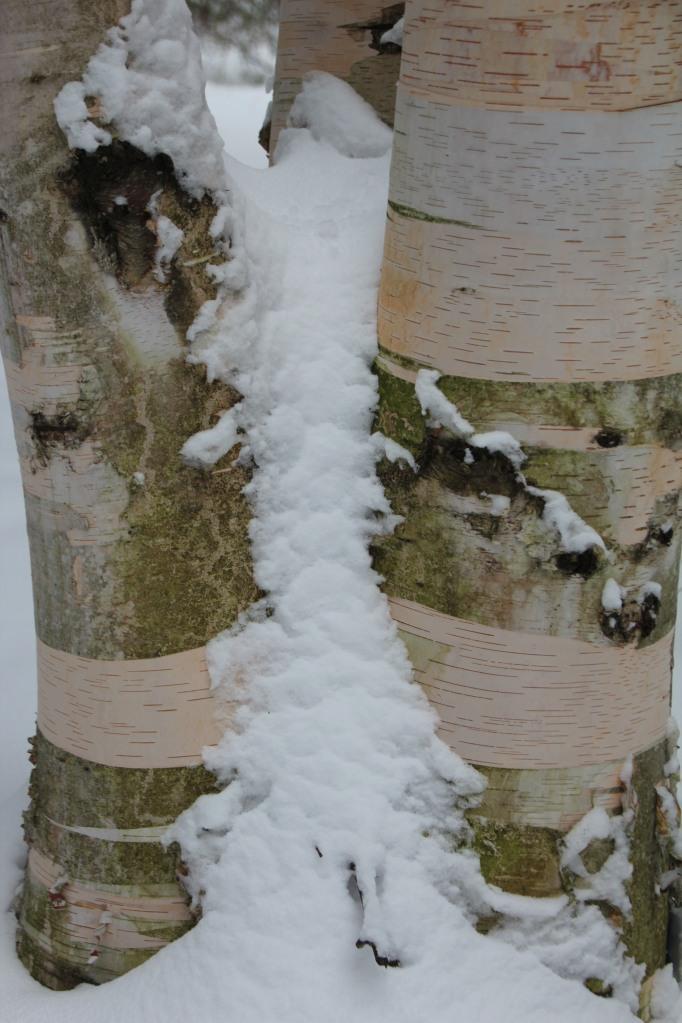 Pretty birch and snow.