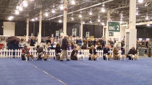 We didn't see any lineups of shelties.