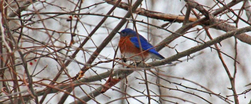 Eastern bluebird scout