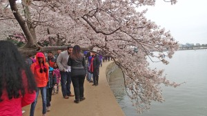 Crowds enjoy the blossoms.