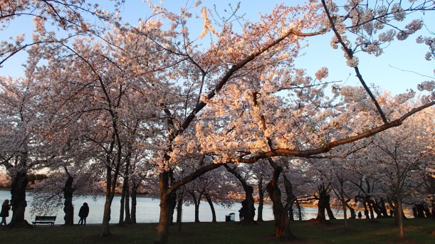 Morning light and cherry blossoms.