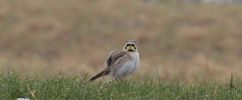 A Horned Lark! From my walk earlier this week.