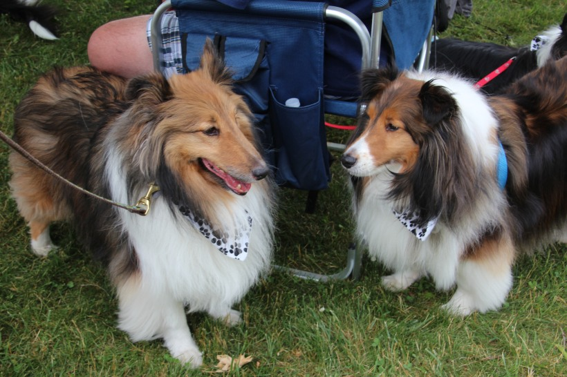 Lots of sheltie smiles.