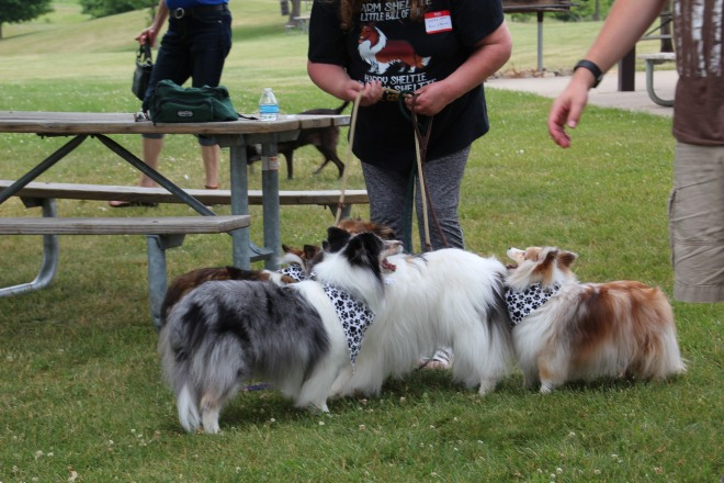One lady. Lots of shelties.