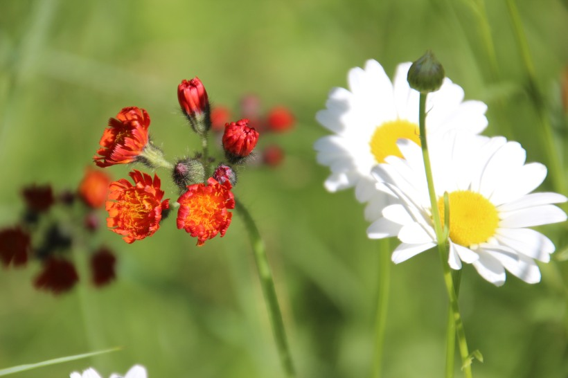 Indian paintbrush and daisies.