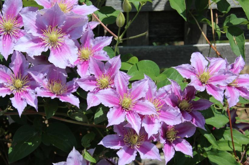 Happy flowering clematis.