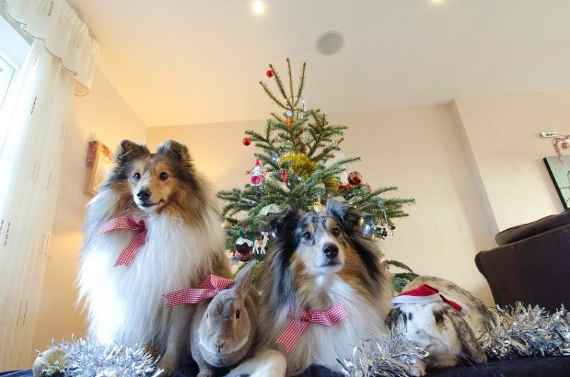 Ludo and Arran and the rabbitdogs pose for Crispmas.