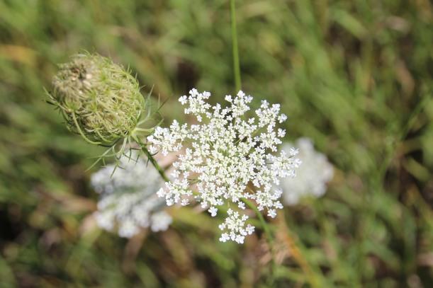 Late summer flower.